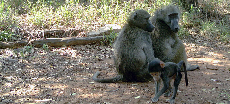 Baboons at rest. in Africa
