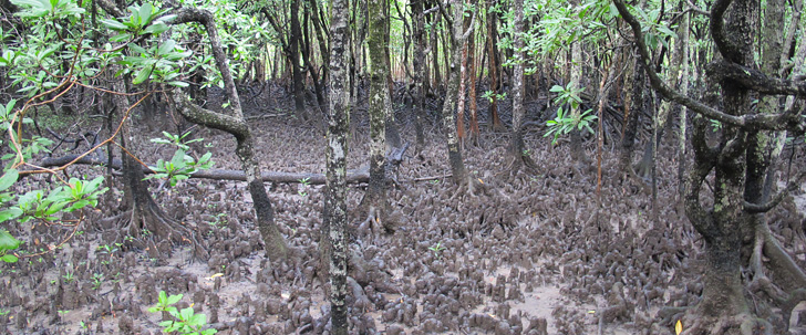 Explore a magical mangrove wonderland. Aerial knee roots of Orange mangrove.