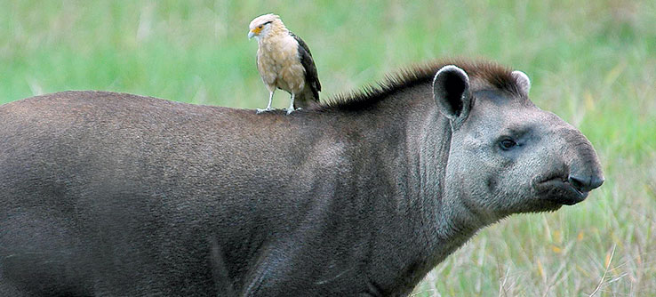 A yellow-headed caracara perches on a tapir.