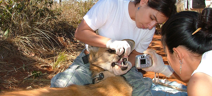 Staff members collect data on a maned wolf.