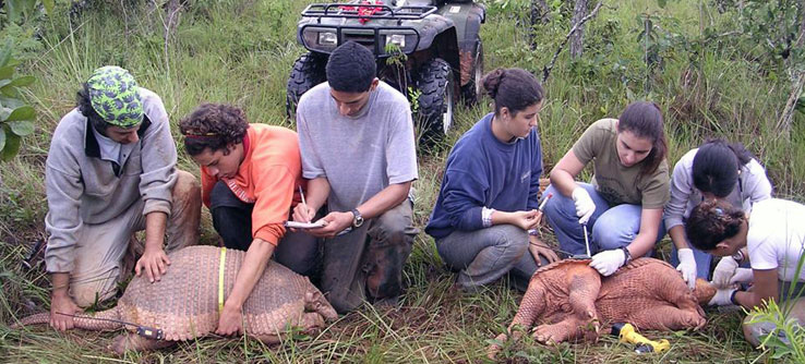 Earthwatchers measure sedated armadillos.