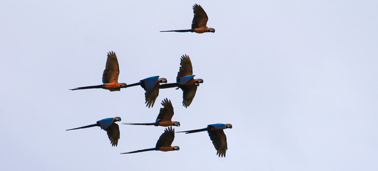 Blue and yellow macaw glide across the Amazon.