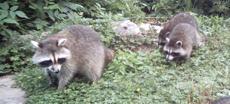 Racoons out for a morning walk.