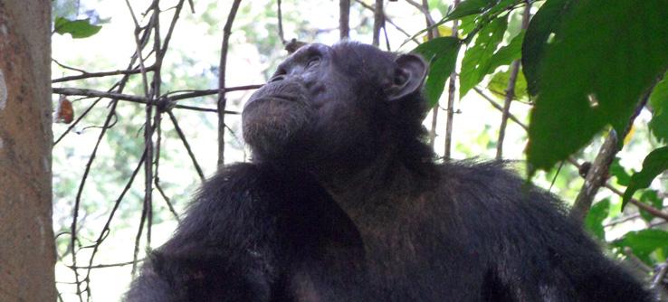 Chimpanzee, Budongo Forest Reserve, Uganda