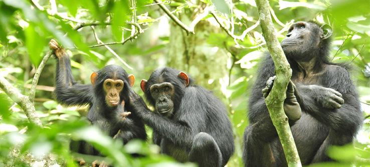 Chimpanzees, Uganda