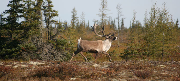 A caribou, one of the native creatures you might get to see.