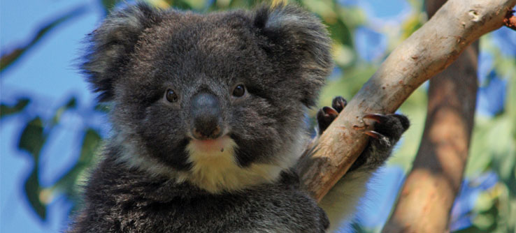 Research koalas in Victoria's Great Otway National Park.