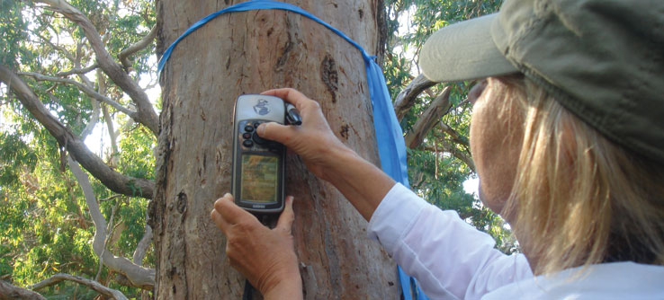 A volunteer notes the GPS location of a tree where a radio-collared koala was spotted.