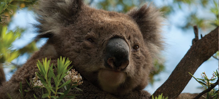 Koalas live only in southern and eastern Australia.