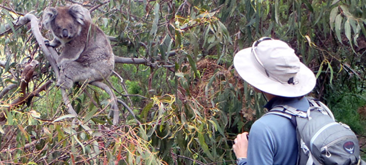 A close encounter with a koala.