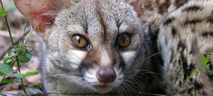 Team members may encounter animals like this genet.