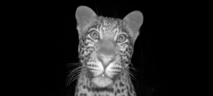 An image of a leopard taken by a camera trap.