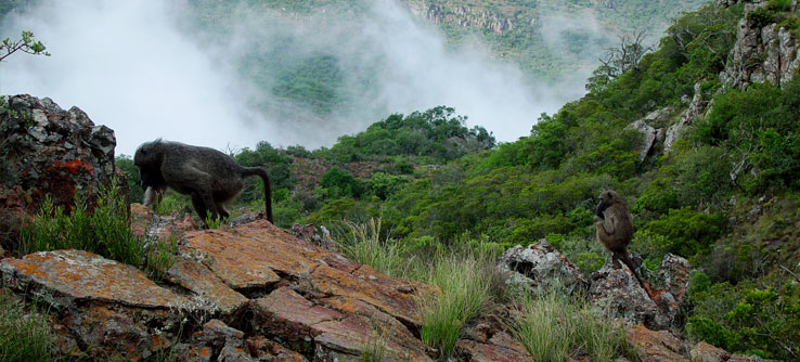 Baboons in the Soutpansberg Mountains.