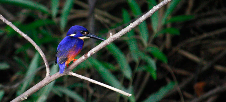 An Azure Kingfisher, endemic to the region.