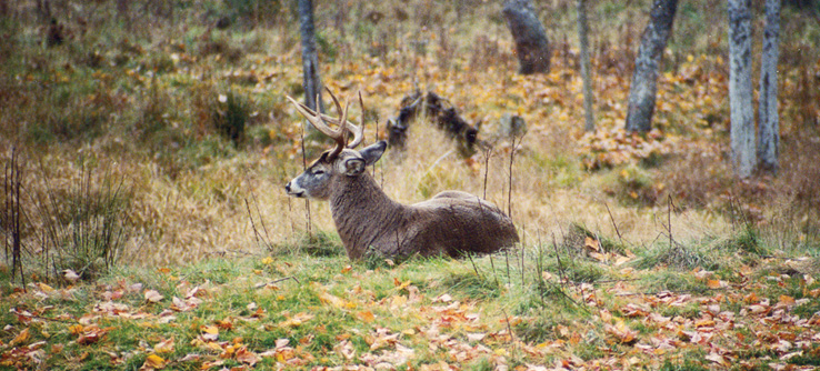 Deer in Nova Scotia, Canada