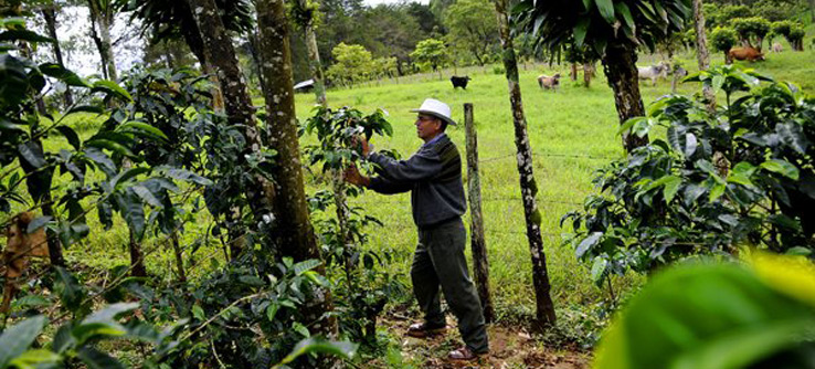 Coffee farmer in the field in Costa Rica.