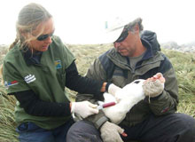 Dr. Quintana and Med. Vet. Marcela Uhart take a blood sample from an albatross