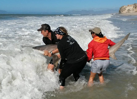Meaghen McCord and her team safely releasing a shark back into the ocean.