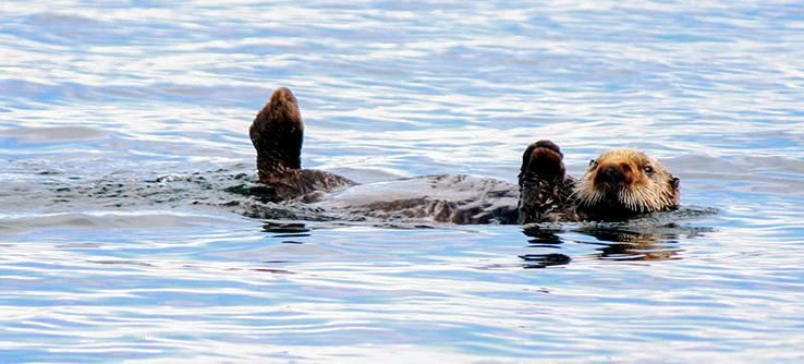Sea Otters and Seagrass in Alaska