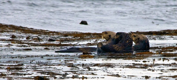 Top predators such as sea otters may play a role in maintaining the health of seagrasses.
