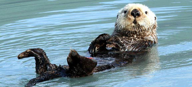 Sea otters have made a critical comeback in Southeast Alaska over the past 50 years.