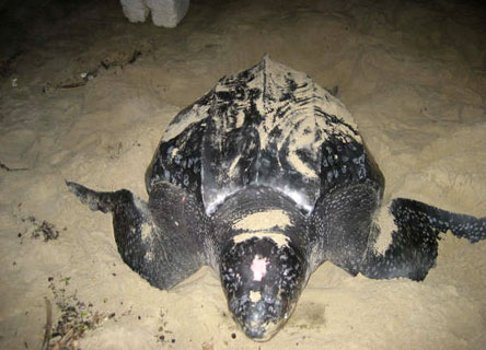 A leatherback sea turtles being studied by Dr. Scott Eckert.