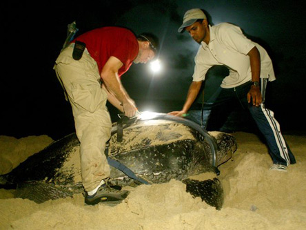 Eggs laid along a beach by leatherback turtles held by scientists Scott Eckert and Dennis Sammy.