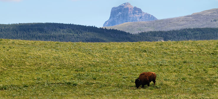 Restoring Fire, Wolves, and Bison to the Canadian Rockies