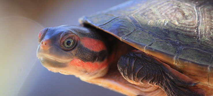 One of the captured northern red-faced turtles.