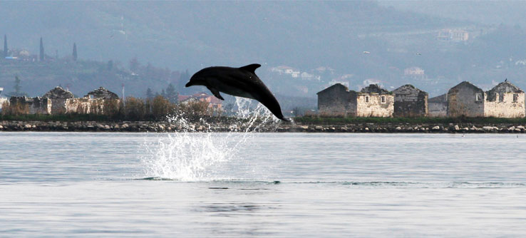 A dolphin leaps off the coast of Slovenia.