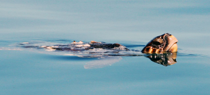 A loggerhead sea turtle comes up for air.