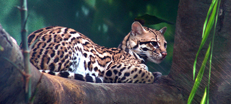 Ocelots are the largest terrestrial mammal predators on Trinidad.