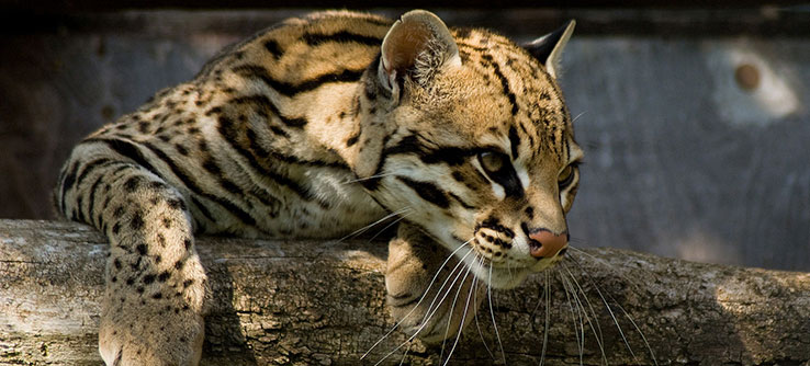Ocelots are threatened by illegal hunting and habitat fragmentation on Trinidad.