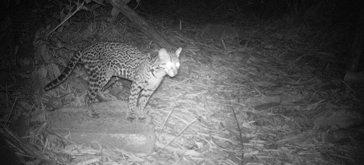 Researchers use camera traps to record ocelot presence on the island.