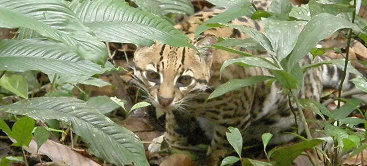 There is little to no information about the population of ocelots living on Trinidad.
