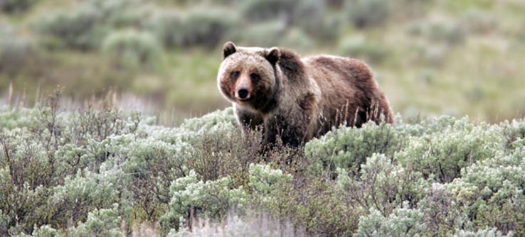 Huckleberries are a critical food source for grizzly bears and other species in Montana.