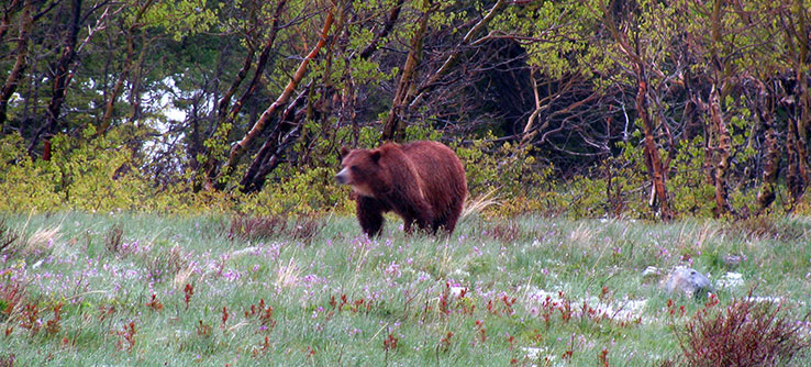 The Flathead National Forest is home to grizzly bears, wolves, and many other species.