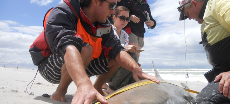 Researchers measure a bronze whaler shark before releasing it.