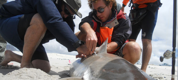 A researcher tags the fin of a bronze whaler shark.