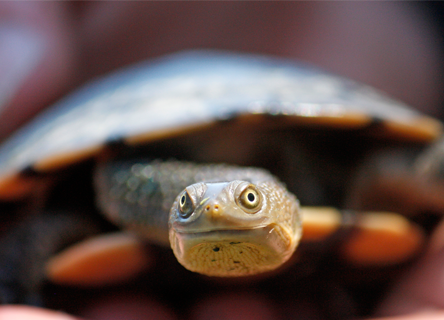 Common long-necked turtle, Austrlia