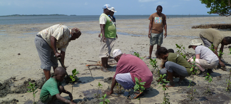 Mangrove volunteers planting seedlings on the beach, Kenya