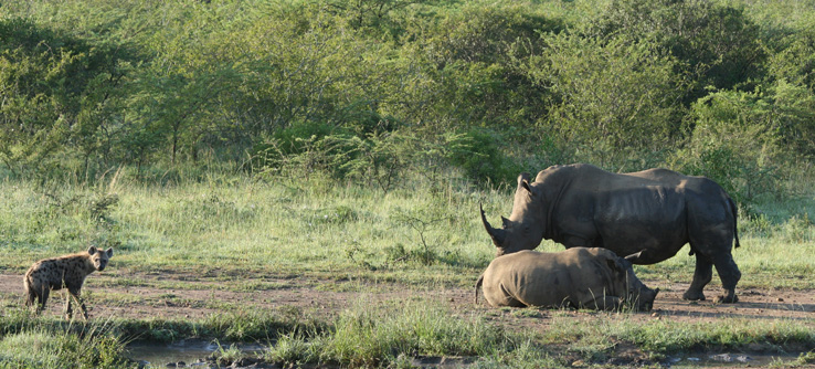 White rhinos and hyaena, South Africa