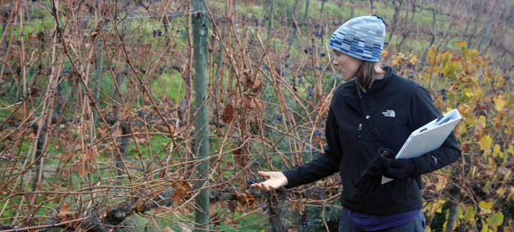 A volunteer examining vines and the winery agriculture.