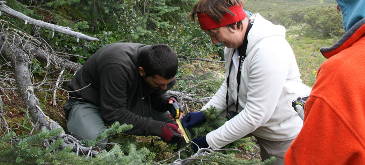 Volunteers measuring arctic vegetation and collecting data on plant phenology