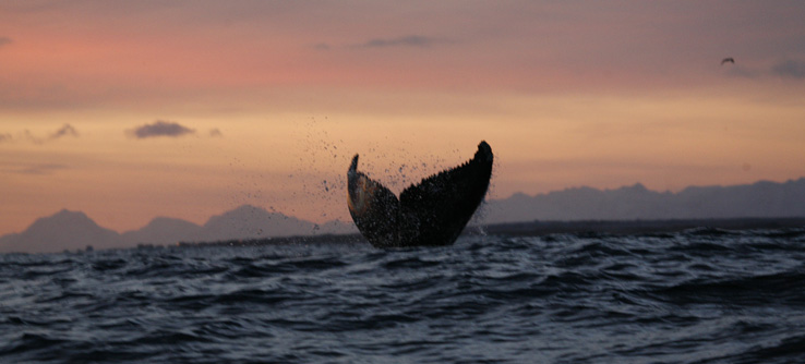 Tail fluke of whale, Norwegian Arctic