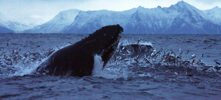 Whale breaching in Norwegian Arctic