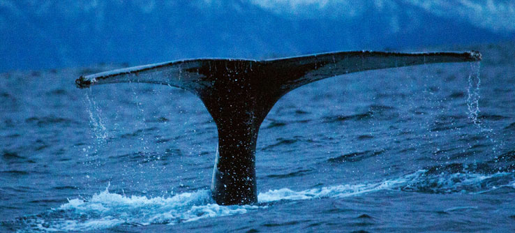 Researchers can tell individual whales apart by markings on their flukes.