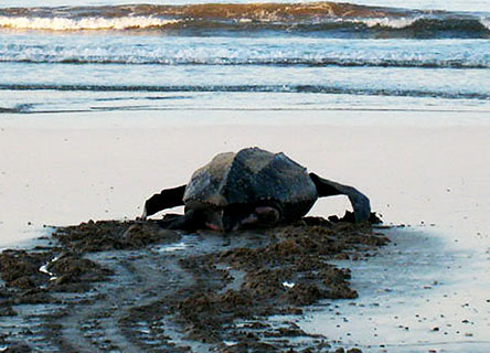 The leatherback sea turtle population in the Pacific, once the stronghold of the species, has declined by over 90% since 1980.  Help this dedicated research team study the behavior of adult and newly hatched turtles, their migratory routes, and how human activities and pollution impact them.