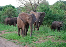 Elephants in the Majete Wildlife Reserve, Malawi