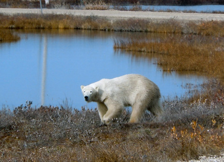 A polar bear migrating in to wait for ice to freeze on Hudson Bay at Climate Change at the Arctic's Edge. © Anthony Nielsen, Lincoln Park Zoo.